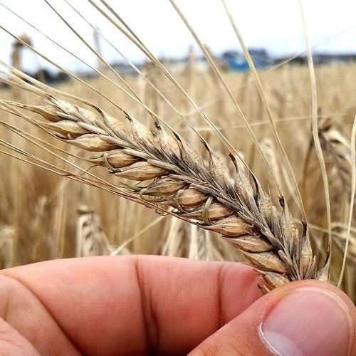 二条大麦等「穂発芽」被害 調査活動と緊急要望!②