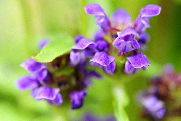 blog 76 Mendocino, Self-Heal_DSC18796.23.14.jpg