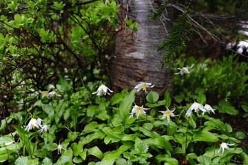 blog (4x6) 95 Fawn Lily, Paradise, Mt. Rainier, WA_DSC7962-7.22.14.(1).jpg