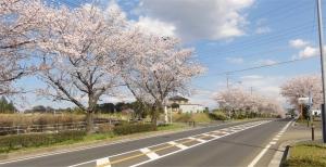 ふれあい桜01